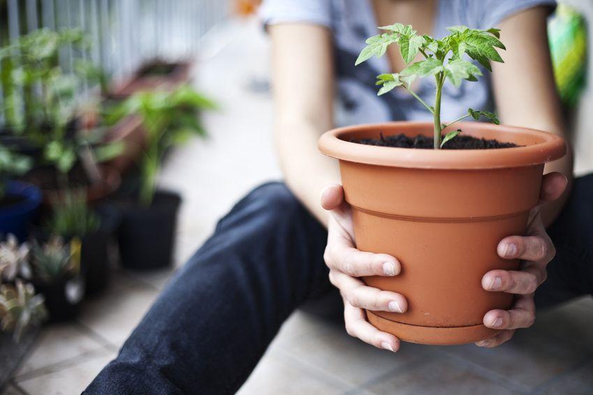 Huerto urbano: maceta con planta de tomate