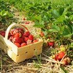 Cómo y cuando plantar fresas.