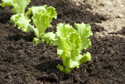 Cómo plantar la lechuga