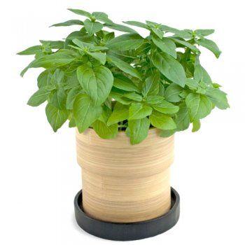plantar albahaca