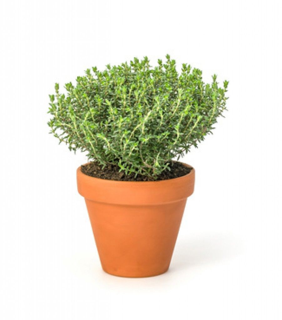 plantar tomillo