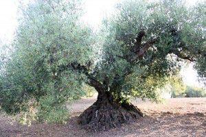 Olivo centenario de Periana
